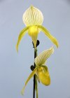 Paph. (Mystic Jewel x Silmaril) x philippinense alba