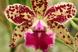 Cattleya Alliance Hybrids for Sale