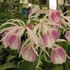 nodosa Hybrid Orchids for Sale