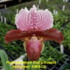Paphiopedilum Orchids for Sale